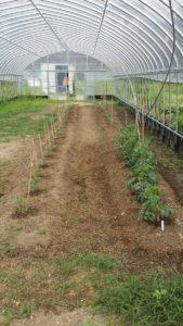 ビニルハウス大玉トマト2