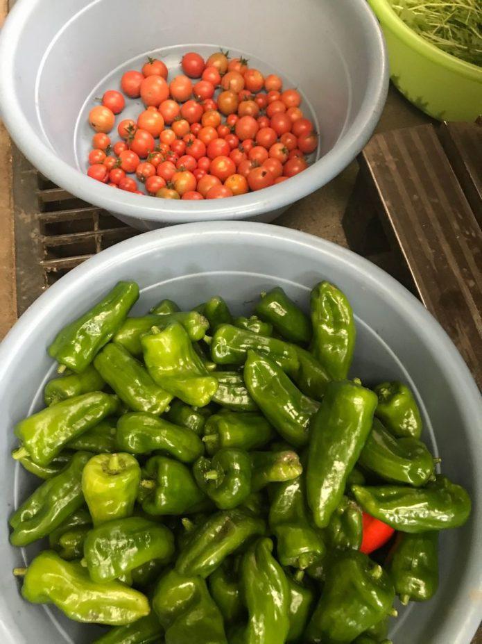 のあ 農業班 収穫しました。ピーマン トマト