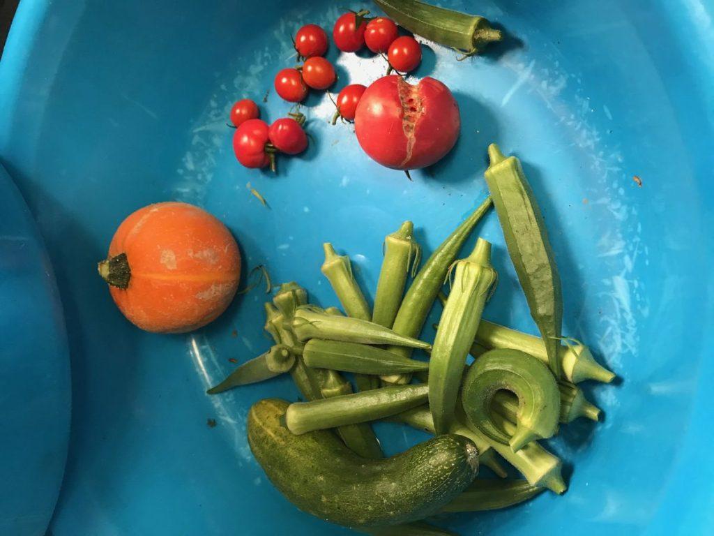 無農薬野菜の収穫