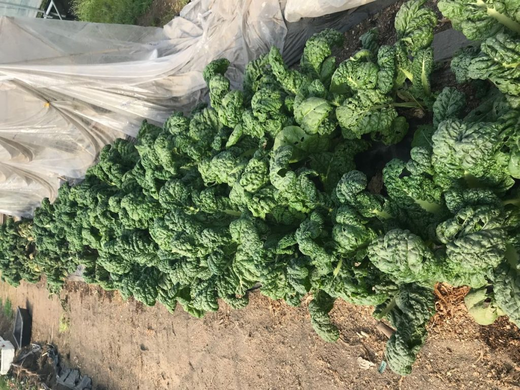 かつお菜の収穫