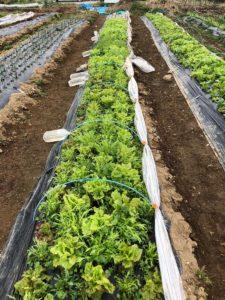 無農薬野菜の畑 ちから