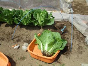 白菜(春光)収穫