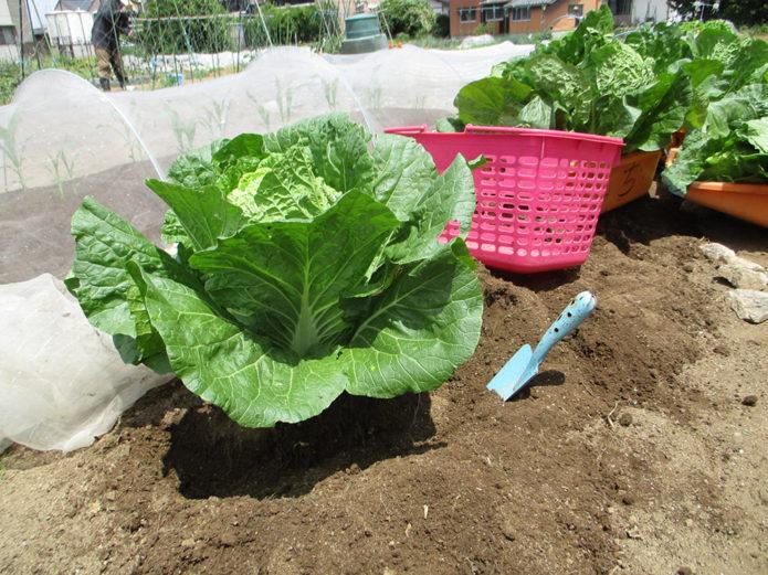 白菜(春光)の収穫