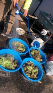 無農薬レタスの収穫