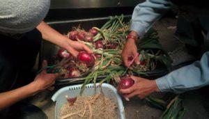 玉ねぎ収穫 吊るし作業風景